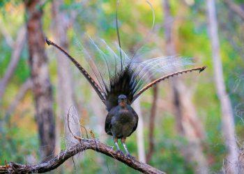 Австралийский лирохвост - птица, которая может имитировать практически любой звук (7фото+2видео)