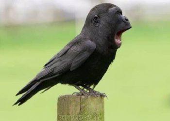 Ворона-горилла - новый странный мем из Японии (8 картинок + видео)