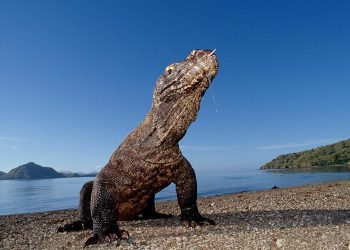 Комодский Дракон: Ешь своих, или съедят тебя (13фото)